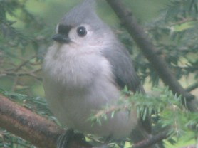 Tufted Titmouse. Photo by Donna L. Long