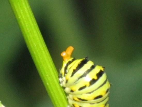 Black Swallowtail osterium