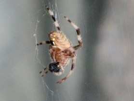 spider dangling from a thread in my garden