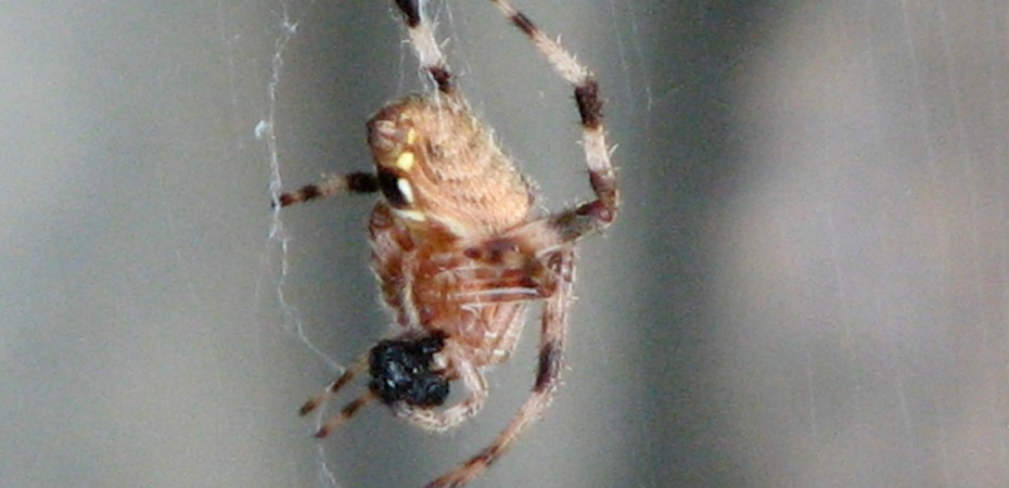 Shamrock Orbweaver Spider ? (Araneus trifolium) dangling from a thread in my garden