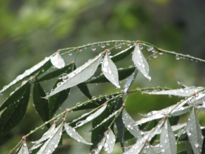 rain drops on leaves Photo by Donna L. Long.