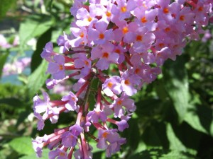 butterfly bush - invasive