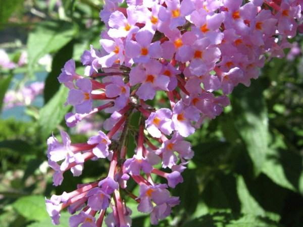 Butterfly bush_Buddleja davidii