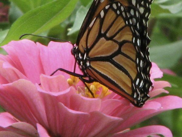 Monarch butterfly on pink zinnia flower in my garden