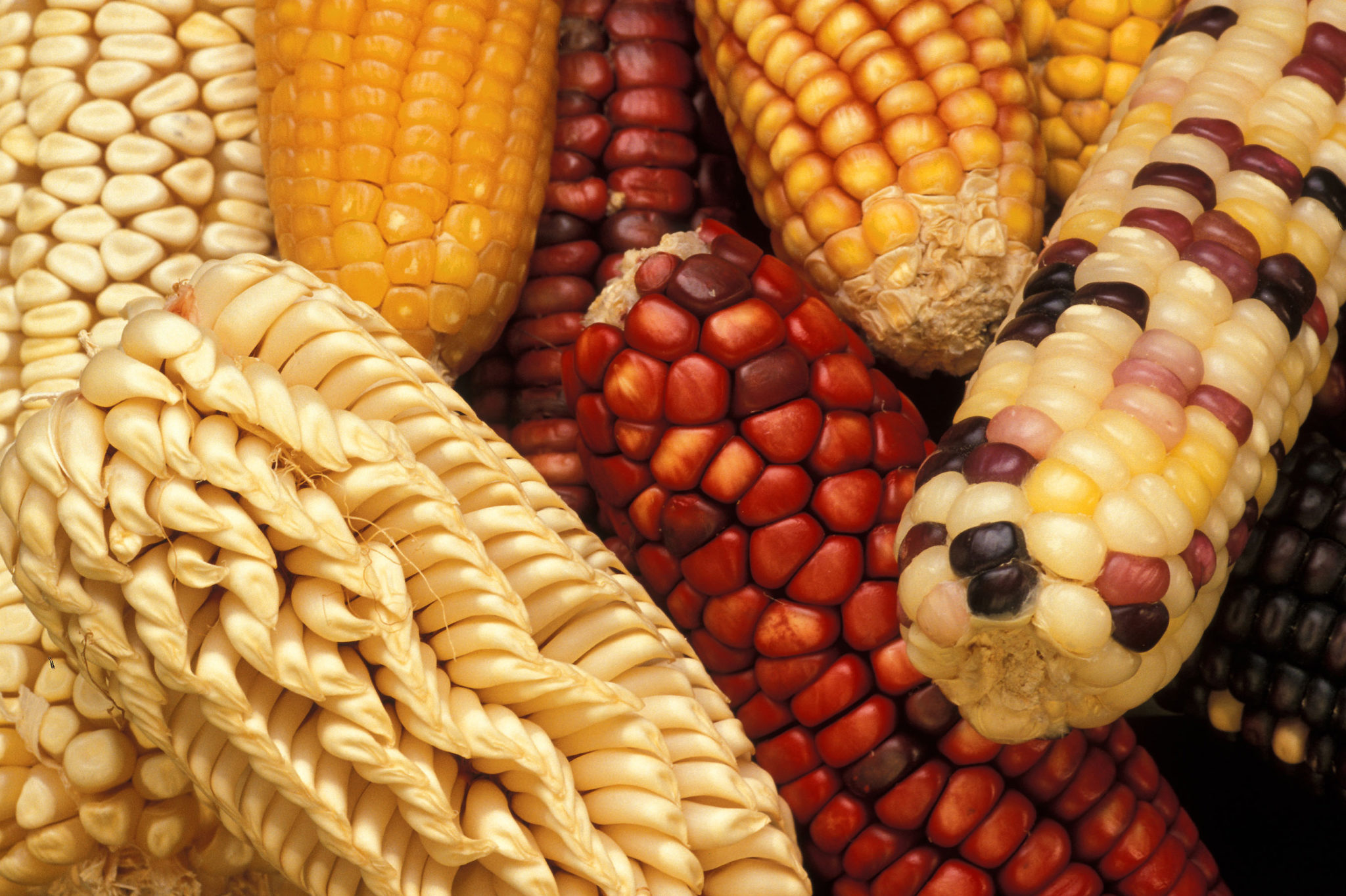 multicolored and different types of ears of corn (zeas mays)