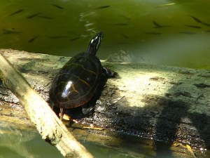 Painted Turtle (Chysemys picta) in Tyler Arboreteum, Lima, PA