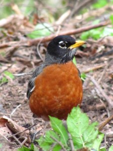 A male American Robin with the orange-red breast. The male has a black head, the female a gray head. Photo by Donna L. Long.