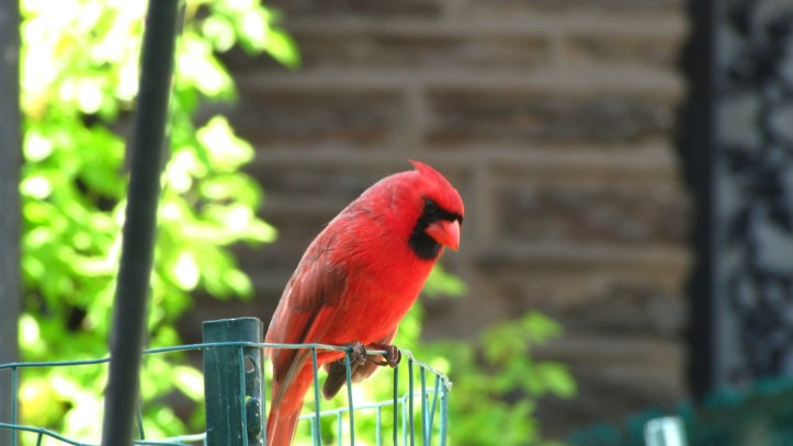 Male Northern Cardinal (Cardinalis cardinalis), in my garden