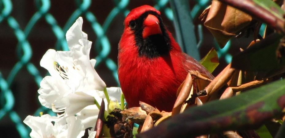 Male Northern Cardinal (Cardinalis cardinalis), in my garden