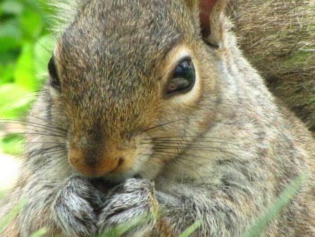 mammals_Female Eastern Gray Squirrel in my garden eating sunflower seeds.