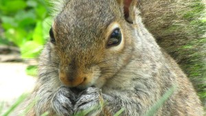 Female Eastern Gray Squirrel in my garden eating sunflower seeds.