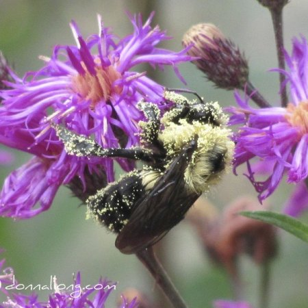 A Pollen leaden American Bumble Bee (Bombus pennsylvanicus). Photo by Donna L. Long.