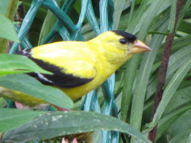 American Goldfinch (Carduelis tristis). Photo by Donna L. Long.