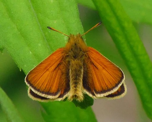European Skipper (Thymelicus lineola). Photo courtesy D. Gordon E. Robertson, via Wikimedia Commons