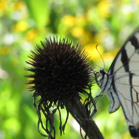Eastern Tiger Swallowtail (Papilio glaucus) in my garden on spent Purple Coneflower seed head