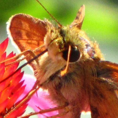 Zabulon Skipper Butterfly (Poanes zabulon) Skipper (Grass Skipper Family. Photo by Donna L. Long.