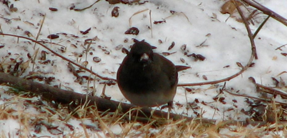 Dark-eyed Juncos migrate north in last spring, but hang around in my garden until then.