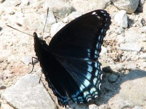 Red-Spotted Purple butterfly (Limenitis arthemis astyanax). Nymphalids (Brushfoot family. Photo by Donna L. Long.