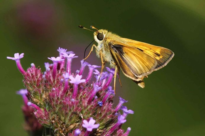 Common Branded Skipper (Hesperia comma) on garden phlox. By Miles Frank, U.S. Fish and Wildlife Service [Public domain], via Wikimedia Commons.
