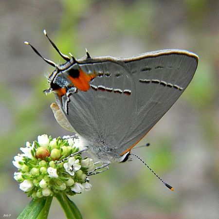 Gray Hairstreak (Strymon melinus) Butterfly. Lycaenidae Butterfly Family). By Bob Peterson from North Palm Beach, Florida, Planet Earth! [CC BY-SA 2.0 (http://creativecommons.org/licenses/by-sa/2.0)], via Wikimedia Commons