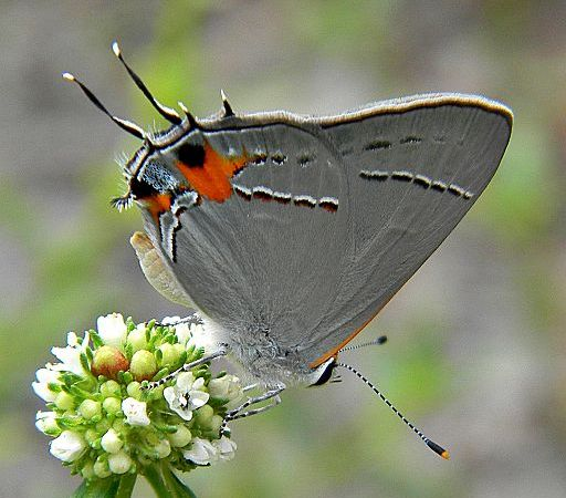 Gray Hairstreak (Strymon melinus) Butterfly. Lycaenidae Butterfly Family). By Bob Peterson from North Palm Beach, Florida, Planet Earth! [CC BY-SA 2.0 (https://creativecommons.org/licenses/by-sa/2.0)], via Wikimedia Commons