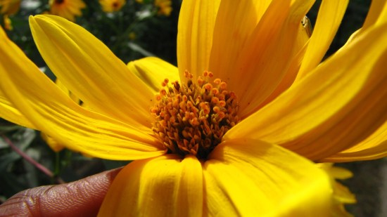 The fertilized tops of stigmas of a sunflower in my garden. Notice the little curled ends. Photo by Donna L. Long.
