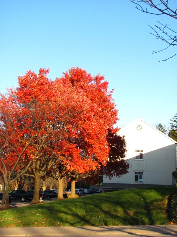 Sugar Maple turning brilliant scarlet red in the September sun. Photo by Donna L. Long.