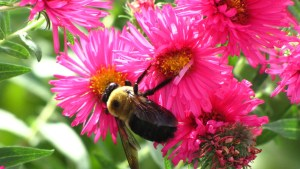 New England Asters, a Pollinator Magnet for Your Garden.