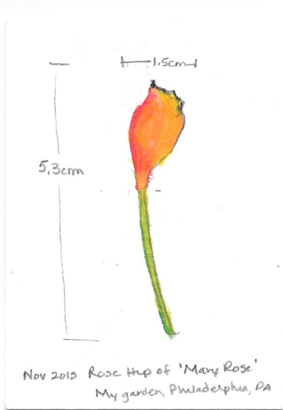 sketch of a rose hip of 'Mary Rose' - David Austin English Rose. Drawing by Donna L. Long.