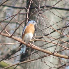 Bluebird in birch tree at Schuylkill Center for Environmental Ed. in March 2016.