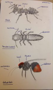 Insects Head, Thorax, and Abdomen – drawing to learn.