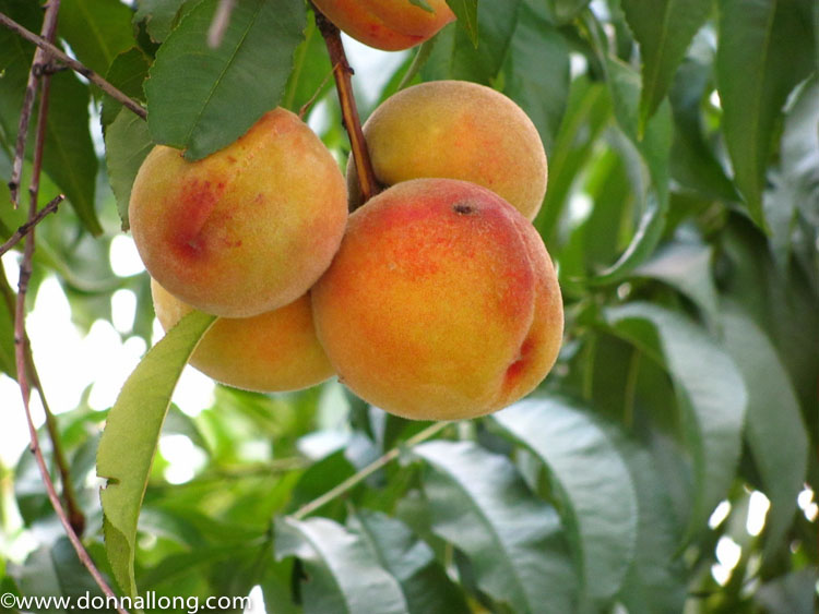Peaches in the sustainable cottage garden.