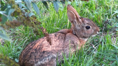 Cottontail Rabbit (Syvilagus floridanus) in Fort Washington State Park. Photo by Donna L. Long.