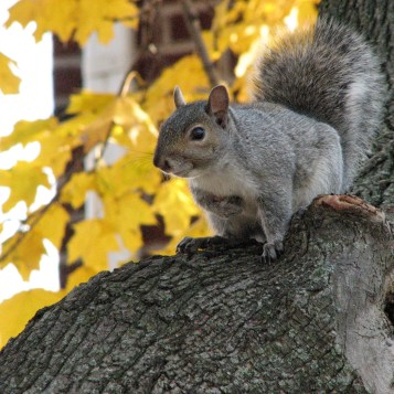 mammals_gray_squirrel