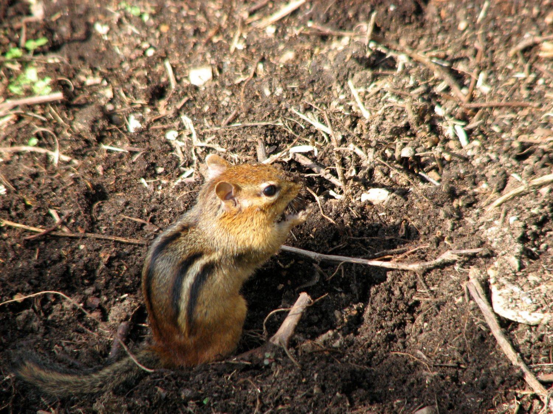A Chipmunks Winter Sleep Torpor And HibernationDonna L Long