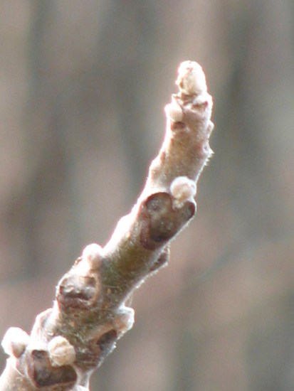 Tree bud in winter. Photo by Donna L. Long.