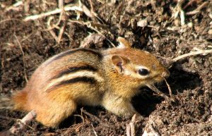 A Chipmunk's Winter Sleep (Torpor and Hibernation)