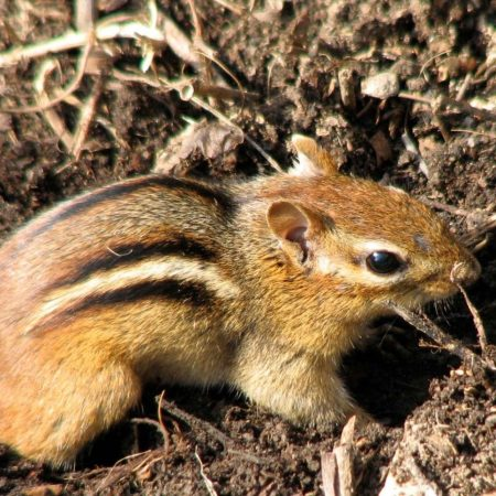 A close-up of a chipmunk's fur and markings. Photo by Donna L. Long.