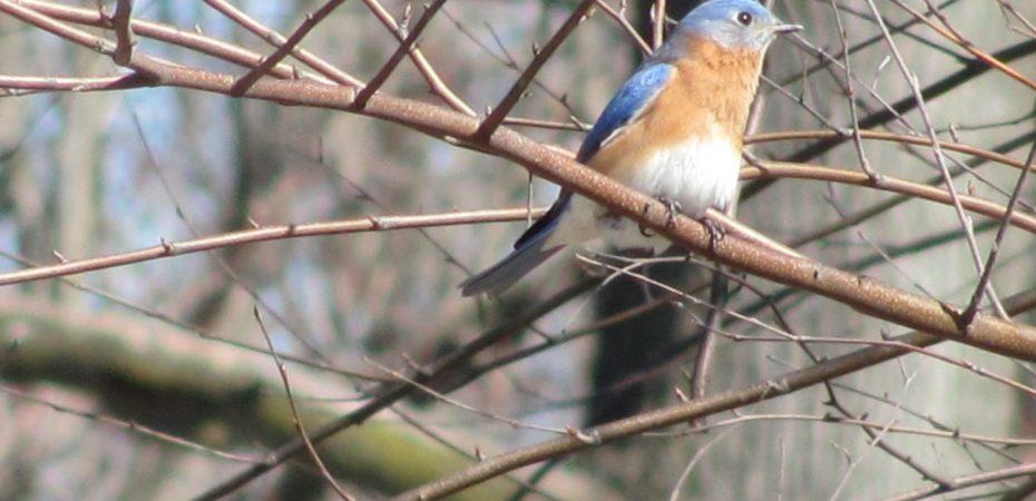 Eastern Bluebird (Sialia sialis) Eastern Bluebird (Sialia sialis) on bare branches in early spring