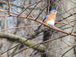 Eastern Bluebird (Sialia sialis). Photo by Donna L. Long.