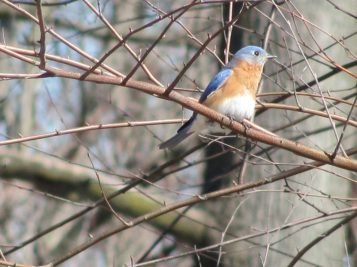 Eastern Bluebird (Sialia sialis). Photo by Donna L. Long.