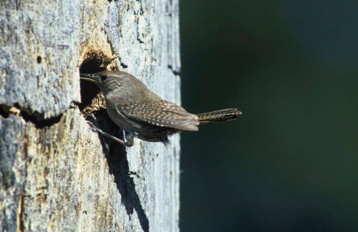 House Wren (Troglodytes aedon) entering nest cavity