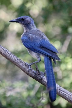 Western Scrub Jay (Aphelocoma californica). Photo in public domain. , fws.gov/