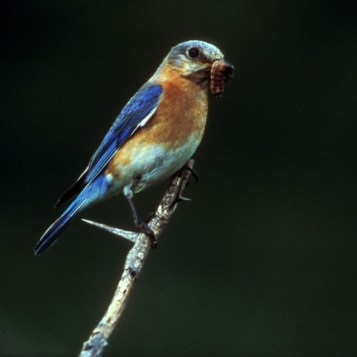 Eastern Bluebird (Sialia sialis) holding larvae in its' beak