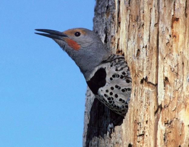 Bird_Northern Flicker