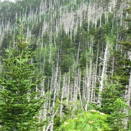 Dead Fraser Fir Trees over 6000 feet above sea level in the Smoky Mountains