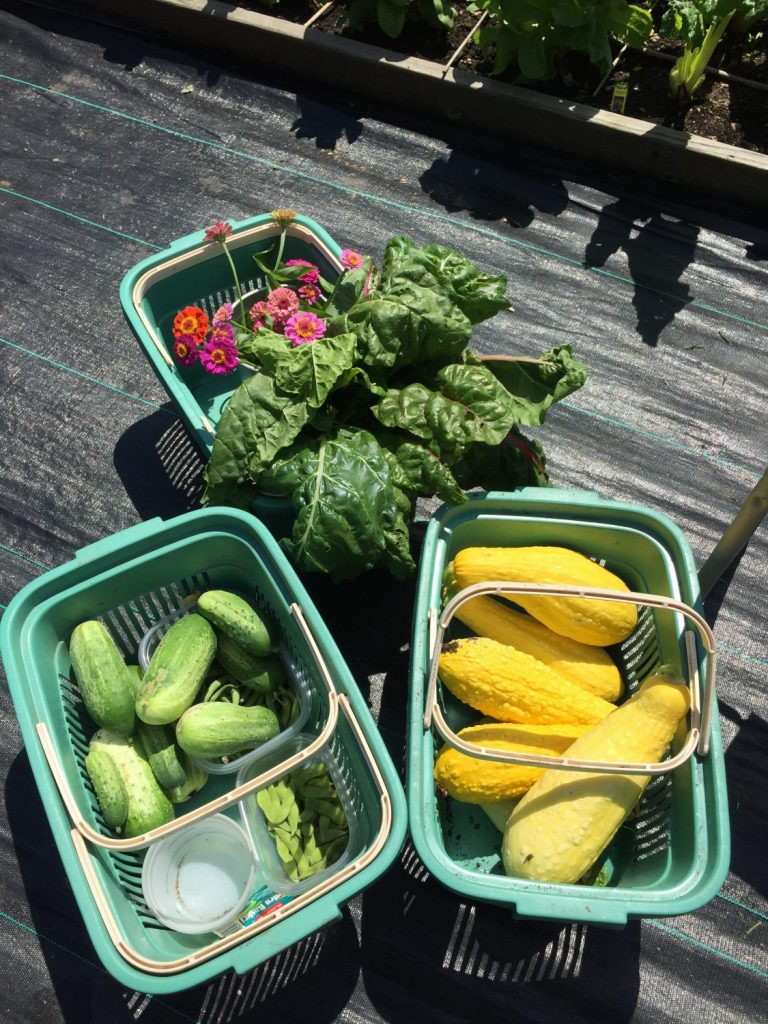 My first harvest from the new garden plot.