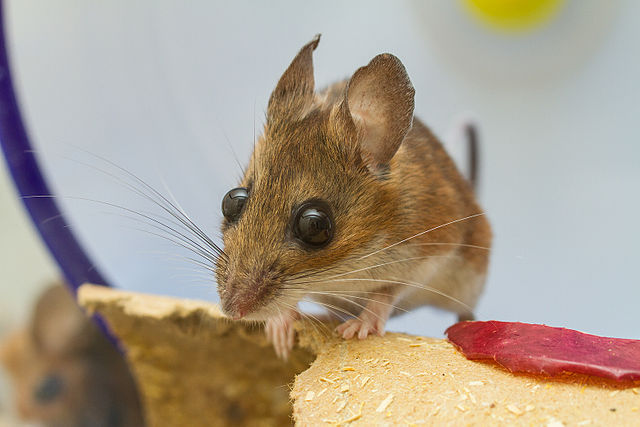 White-footed Mouse (Peromyscus leucopus) - By Charles Homler/Wikimedia.
