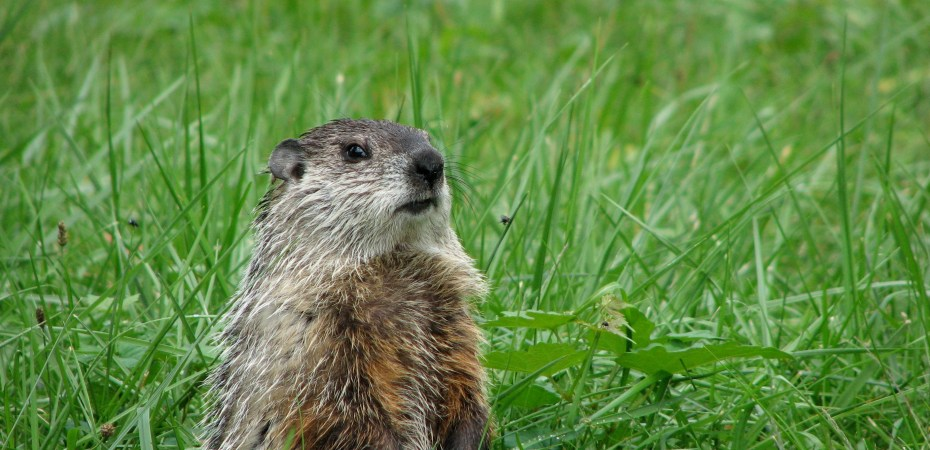 A Groundhog or Woodchuck (Marmot monax). Photo by Donna L. Long.