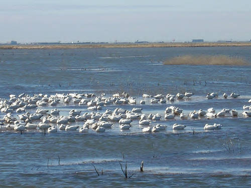 Snow geese at Forstyle Refuge